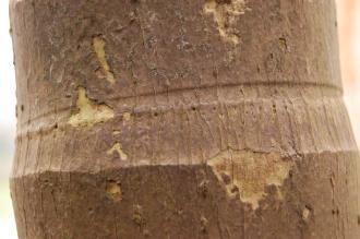 Areca catechu Bark (23/03/2013, Kew Gardens, London)