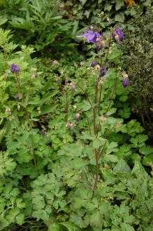 Aquilegia vulgaris (18/05/2013, Kew Gardens, London)