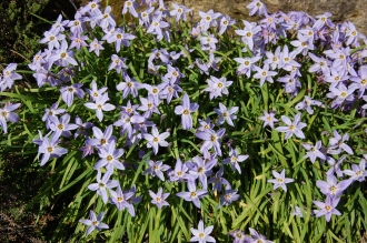 Ipheion uniflorum (21/04/2013, Kew Gardens, London)