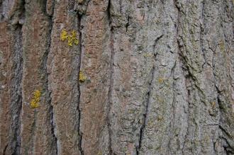 Populus x canadensis 'Robusta' Bark (18/05/2013, Kew Gardens, London)